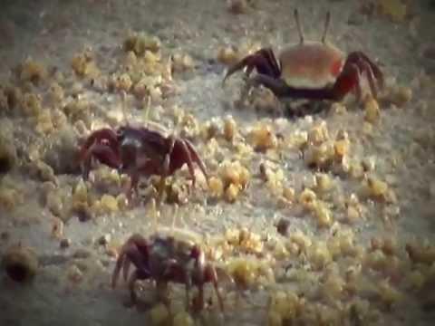 crab culture