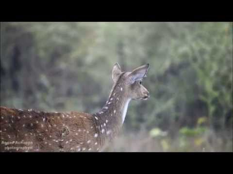 Alarm call by Spotted Deer