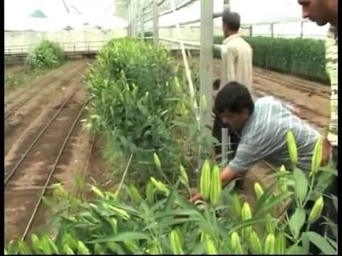 Lily Cultivation