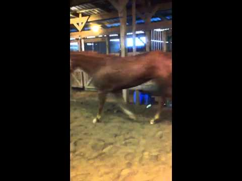 Horse putting head down at the trot?