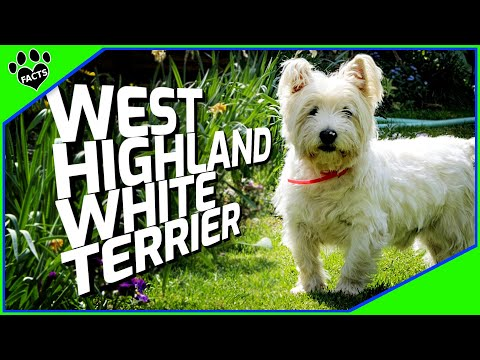 Dogs 101: West Highland White Terrier Westie - Animal Facts