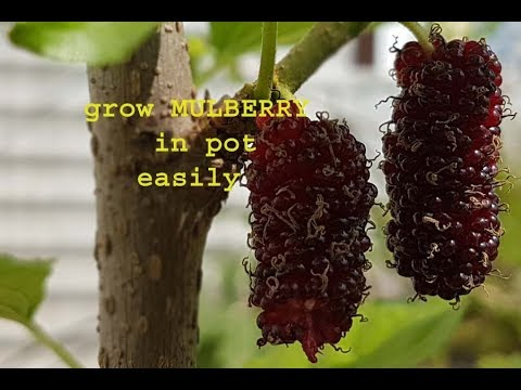 grow MULBERRY (SHAHTOOT) fruit plant in pot on your terrace ,with result.