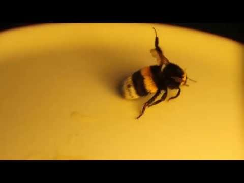 Saving Jerry [ how to save a Bumble Bee's life ]