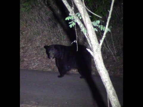 BLACK BEAR AT OUR HOUSE