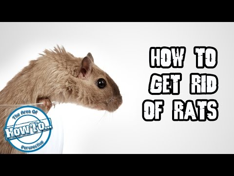 How to get rid of rats OR how to kill rats