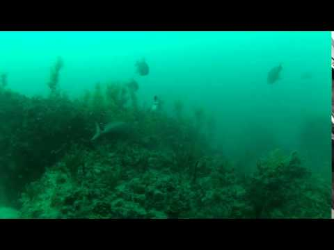 Underwater GoPro Video of Fishing  Red Grouper Eats Pinfish and is Hooked!