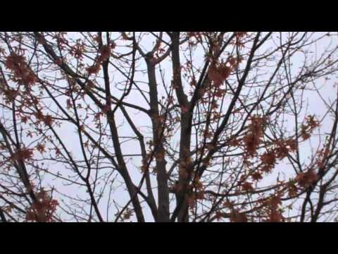 Red Maple Pruning