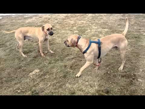 Black Mouth Curs play fighting