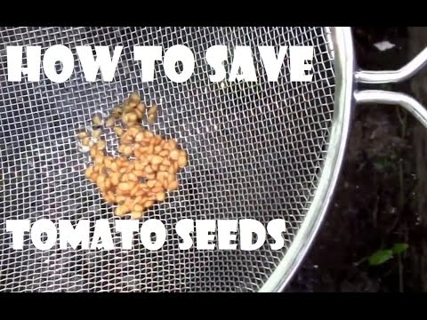 How to Save Tomato Seeds for Personal Use. Step by step instructions.
