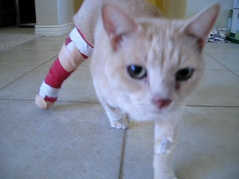 Cat with leg cast with broken leg