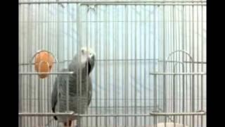 Download نابغه ترين وباهوشترين طوطي جهان-كاكو Video