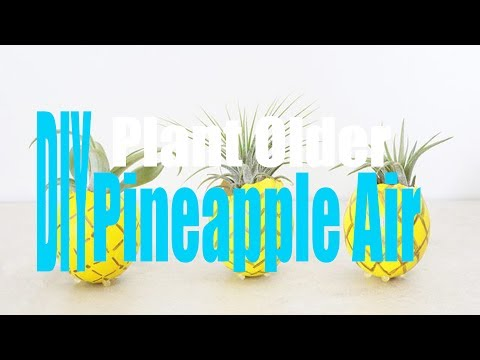 How to DIY Pineapple Air Plant Older