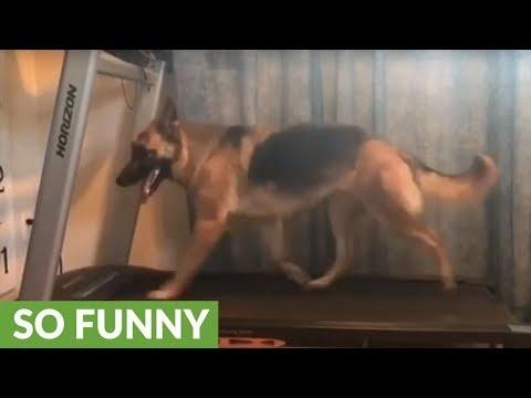 German Shepherd stays fit by running on treadmill