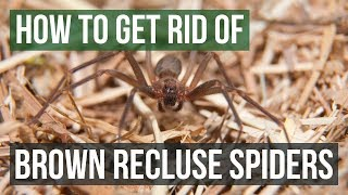 Download How to Get Rid of Brown Recluse Spiders Video