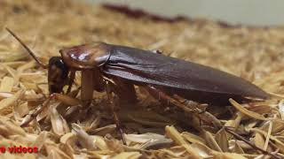 Download cock roach in house Video