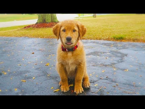 I GOT A PUPPY! - The 10 week old Golden Retriever!
