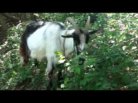 1gp  goat power weed trimmer