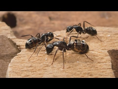 Tips to get rid of carpet ants
