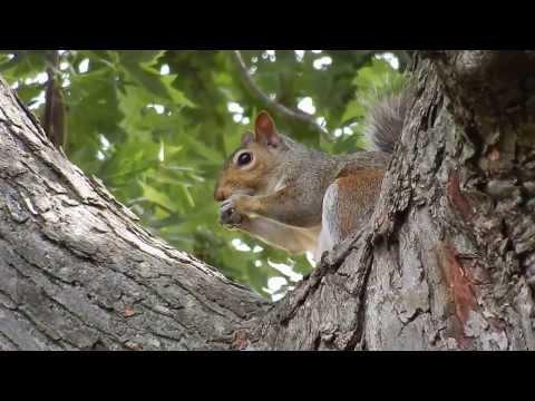 Squirrel eating pecan