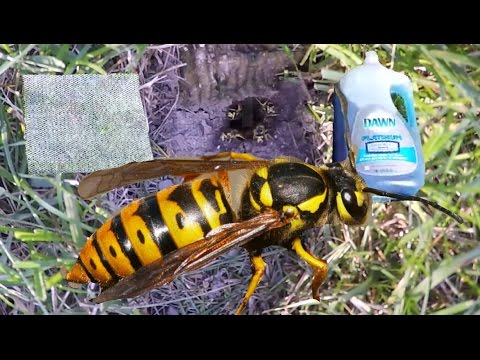 How To Kill Ground Wasp/ Yellow Jackets NEST With Soap and Water