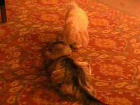 Maltese Dog & Coon Cat play fight!