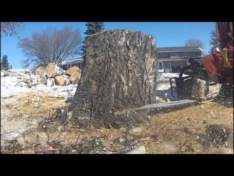 stihl361 chain saw cutting a stump