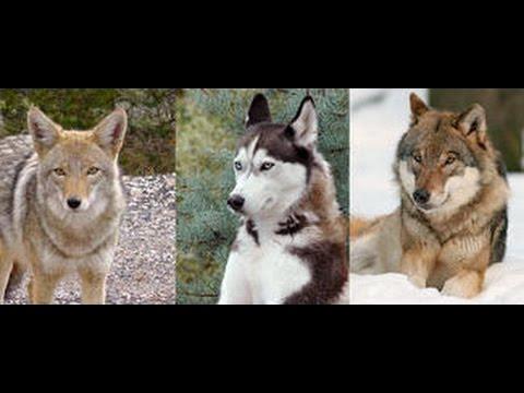 Les différents types de loups