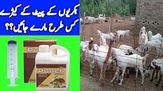 Rajanpuri Goat Farm || How To Make It More Profitable || bakri farm