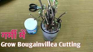 how to grow bougainvillea in pots || Using Rooting Hormone