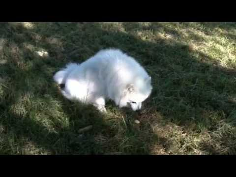 Why Do Dogs Eat Grass? Acid Reflux -- Dog Eating Grass Vomiting Yellow Bile