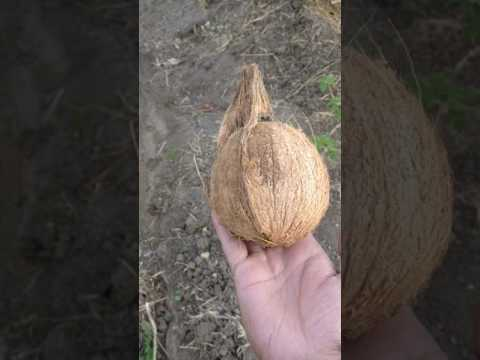 How to find approximate underground water source using coconut