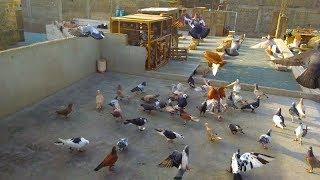 Magpie Pigeons - Berwick Lofts