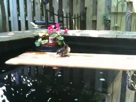 Floating duck dock.