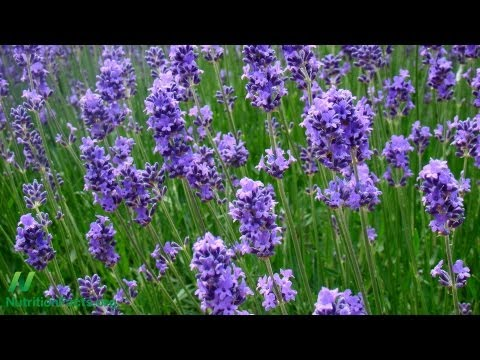 Lavender for Generalized Anxiety Disorder