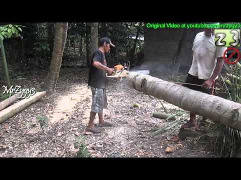 Logging Chainsaw Cutting Coconut Tree