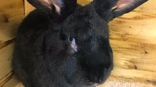 GIANT RABBIT Found DEAD On UNITED Airlines Flight   What