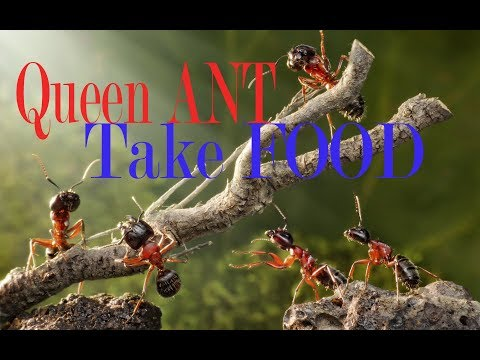 Ant Queen and Ants take food