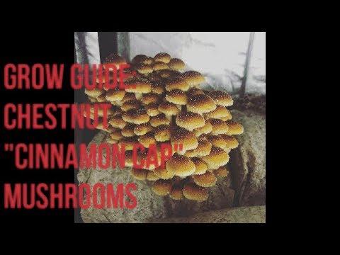 Grow Guide: Cinnamon Cap Mushrooms