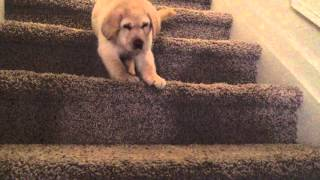 7-week-old Yellow Lab Goes Down Stairs For The First Time