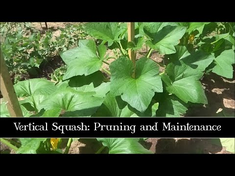 Vertical Squash: Pruning and Maintenance