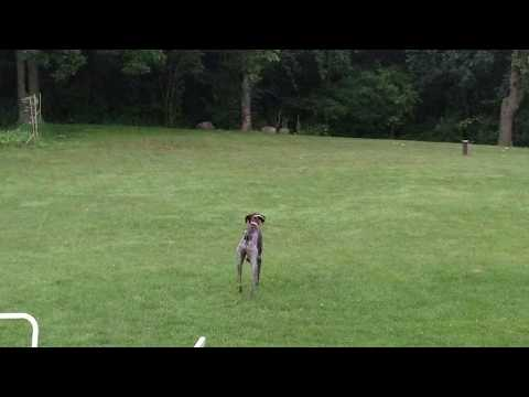 Our German shorthaired pointer's stalk was ruined by our Bichon! Funny dog video!