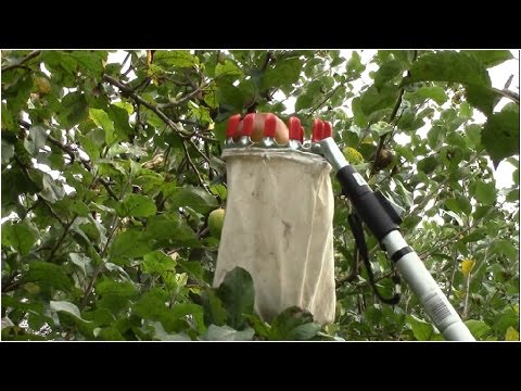 How to Pick Fruit high up on Trees
