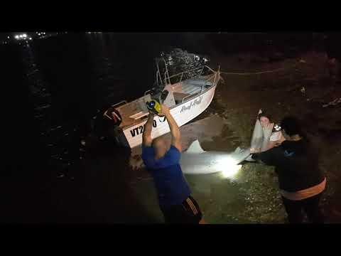 3 METRE BULLSHARK CAUGHT IN BRISBANE RIVER