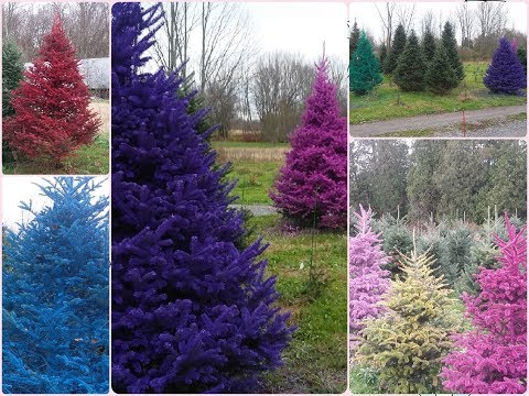 Put a Little Color in Your Christmas with Real Colored Trees