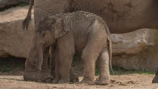 Elephant Gives Birth to Calf 3 Months After Due Date