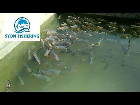 Fish farming Rupchanda fish Umbergaon 09898371663