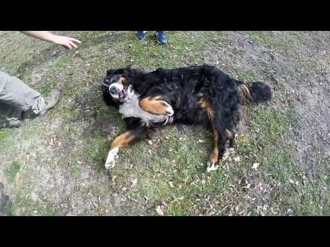 Bernese mountain dog trying to do a barrel roll. CUTE and FUNNY!!!