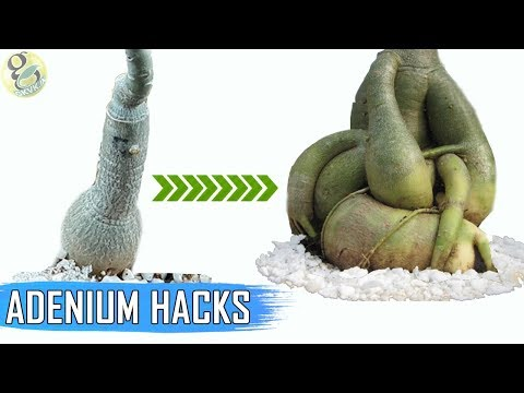 ADENIUM HACKS AND TIPS: Get a FAT Caudex | How To Make Adenium Caudex 5 Times Thicker?