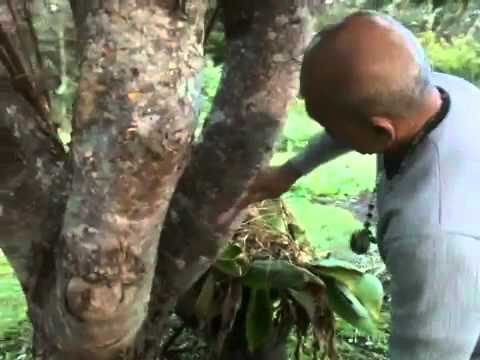 How to Increase Mango Production