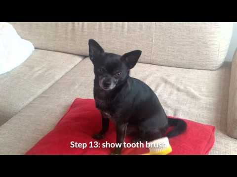 Brushing your chihuahua's teeth: a step by step approach.